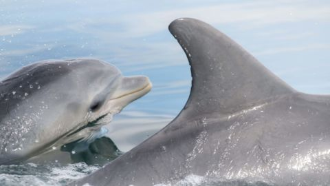 Dolphins Learn Foraging Tricks From Each Other, Not Just From Mom