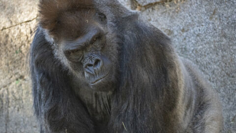 Gorilla Gets Monoclonal Antibody Therapy For COVID-19