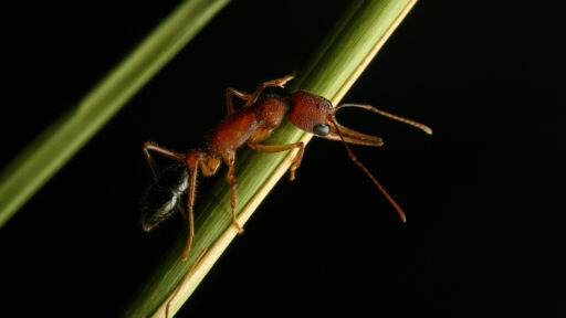 The Incredible Shrinking And Growing Brains Of Indian Jumping Ants