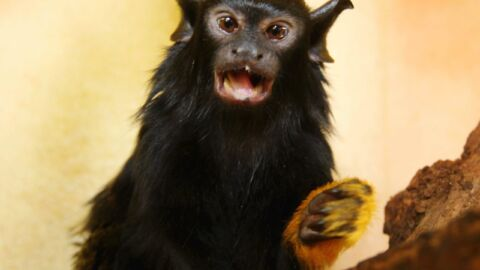 Scientists Say These Monkeys Use An 'Accent' To Communicate With Their Foe