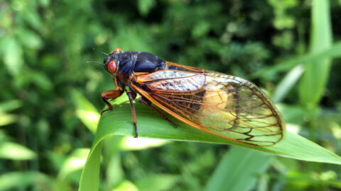 A Fungus Is Pushing Cicada Sex Into Hyperdrive And Leaving Them Dismembered