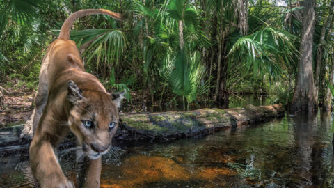 Once Nearly Extinct, The Florida Panther Is Making A Comeback