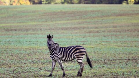 The owner of three escaped zebras in Maryland has been charged with animal cruelty